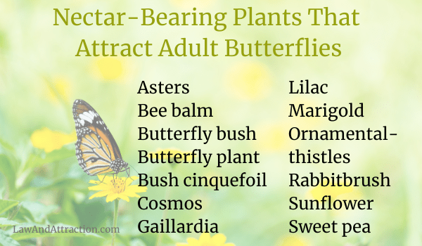 Nectar-bearing plants that attract adult butterflies Asters Bee balm Butterfly bush Butterfly plant Bush cinquefoil Cosmos Gaillardia Lilac Marigold Ornamental thistles Rabbitbrush Sunflower Sweet pea