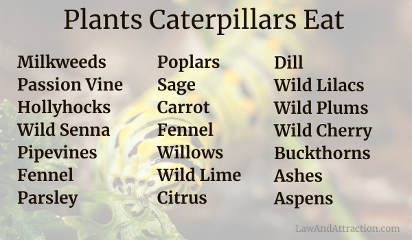 Plants caterpillars eat Milkweeds Passion Vine Hollyhocks Wild Senna Pipevines Fennel Parsley Dill Wild Lilacs Wild Plums and Cherry Buckthorns Ashes Aspens and Willows Poplars Sage Wild Lime Citrus Carrot Fennel