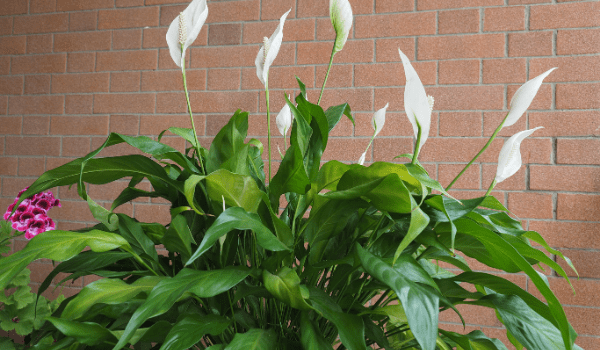Air Purifying Plant Peace Lily