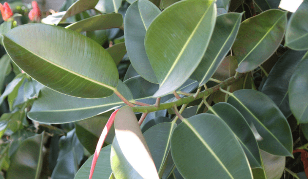 Air Purifying Plant Rubber Plant